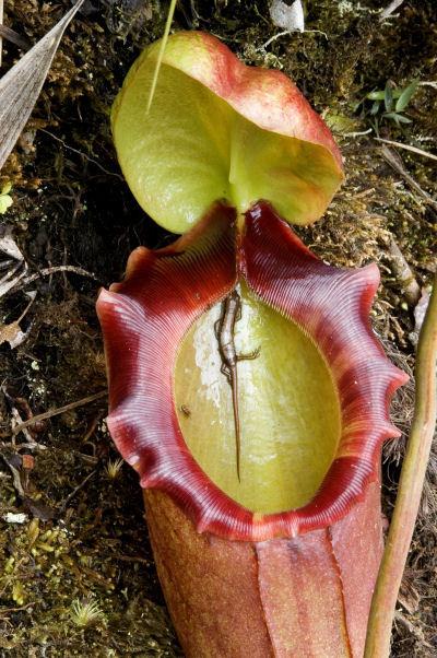 Nepenthes tenax - пожиратель плоти