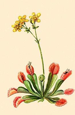 Насекомоядные растения. Венерина мухоловка (Dionea muscipula). Насекомоядные растения. Статьи для написания рефератов, курсовых
