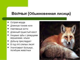 Волчьи (Обыкновенная лисица) Острая морда Длинные тонкие ноги Невтяжные когти