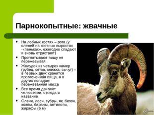 Парнокопытные: жвачные На лобных костях – рога (у оленей на костных выростах