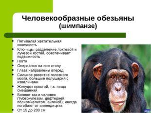Человекообразные обезьяны (шимпанзе) Пятипалая хватательная конечность Ключиц