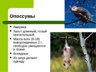 Опоссумы Америка Хвост длинный, голый хватательный Масса всех (8-18) новорожд