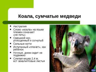 Коала, сумчатые медведи Австралия Слово «коала» на языке племен означает «не