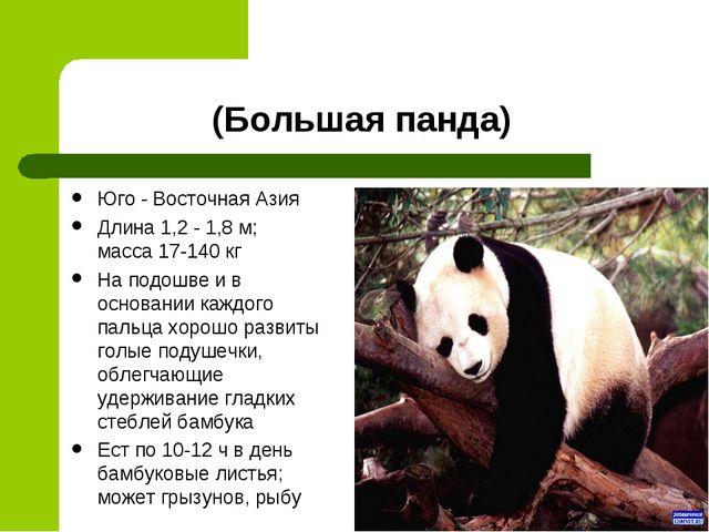 (Большая панда) Юго - Восточная Азия Длина 1,2 - 1,8 м; масса 17-140 кг На по...