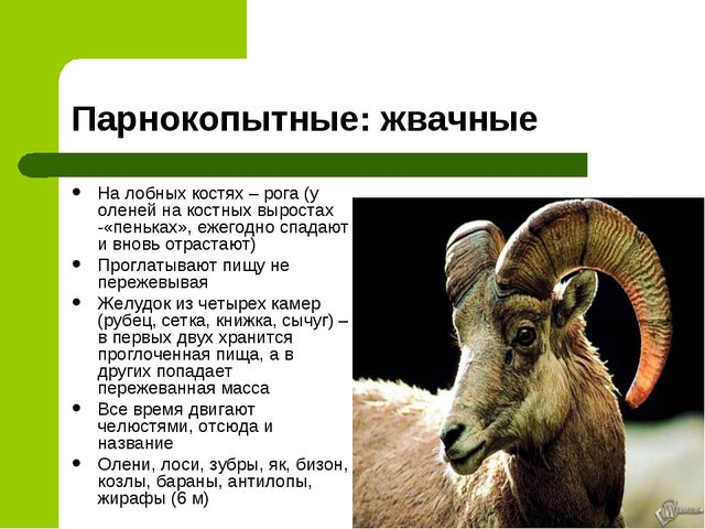 Парнокопытные: жвачные На лобных костях – рога (у оленей на костных выростах...
