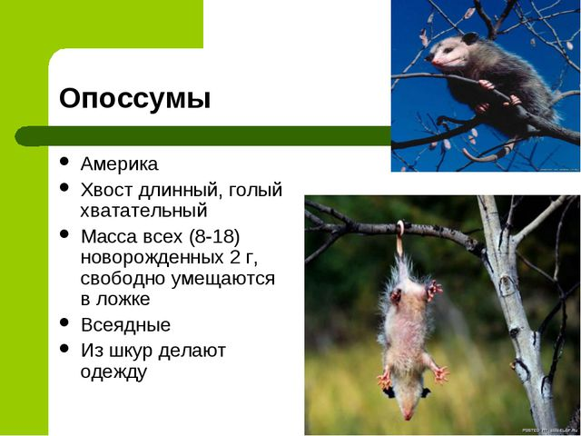Опоссумы Америка Хвост длинный, голый хватательный Масса всех (8-18) новорожд...