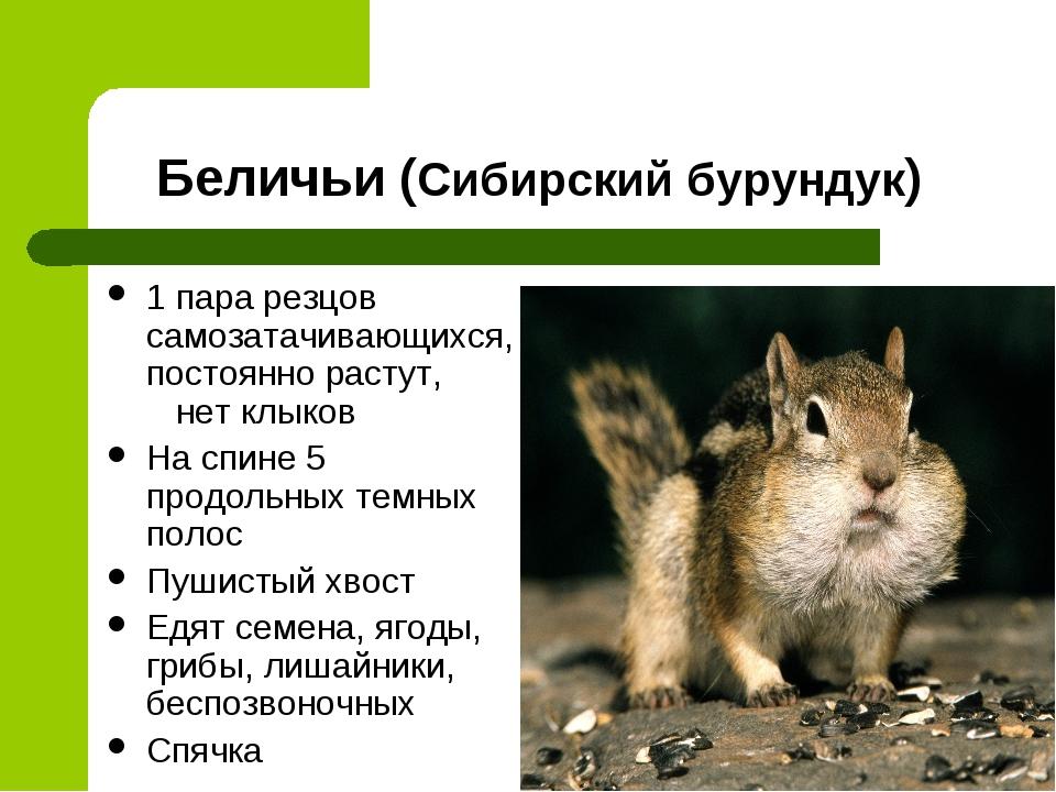 Беличьи (Сибирский бурундук) 1 пара резцов самозатачивающихся, постоянно раст...