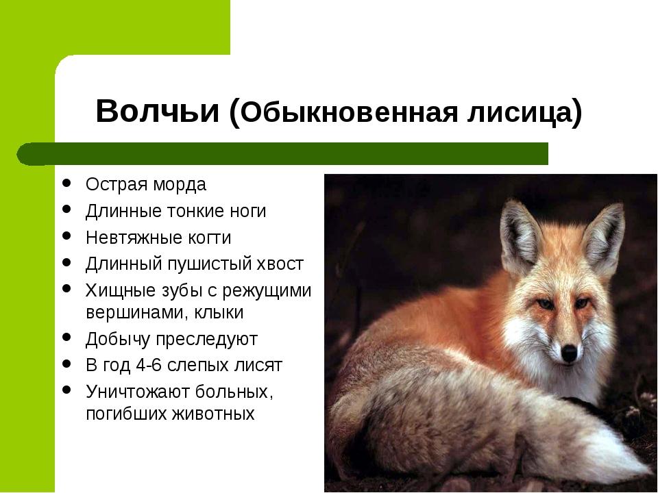 Волчьи (Обыкновенная лисица) Острая морда Длинные тонкие ноги Невтяжные когти...