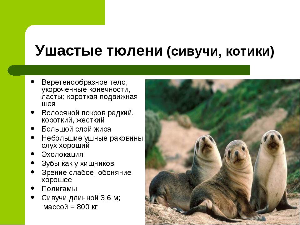 Ушастые тюлени (сивучи, котики) Веретенообразное тело, укороченные конечности...