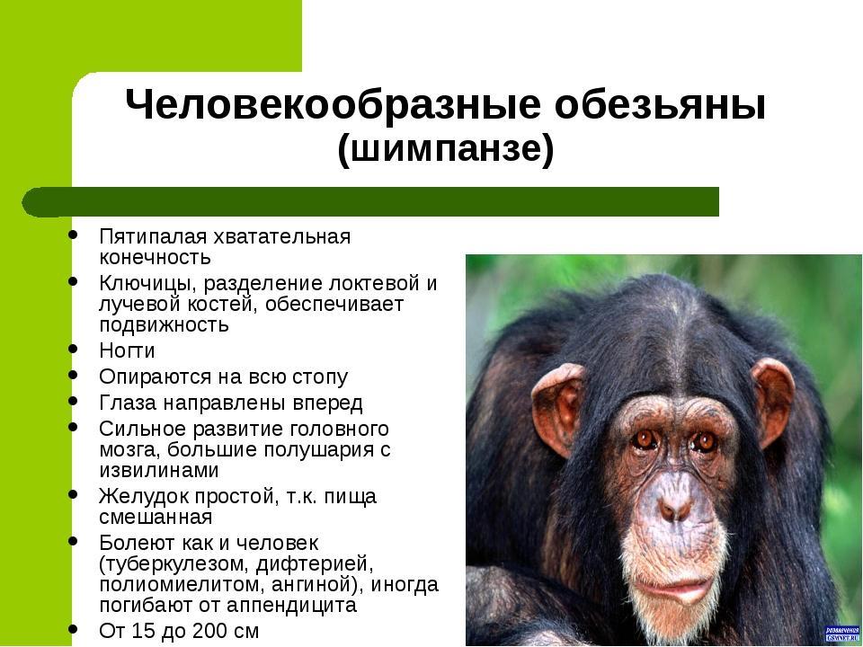 Человекообразные обезьяны (шимпанзе) Пятипалая хватательная конечность Ключиц...
