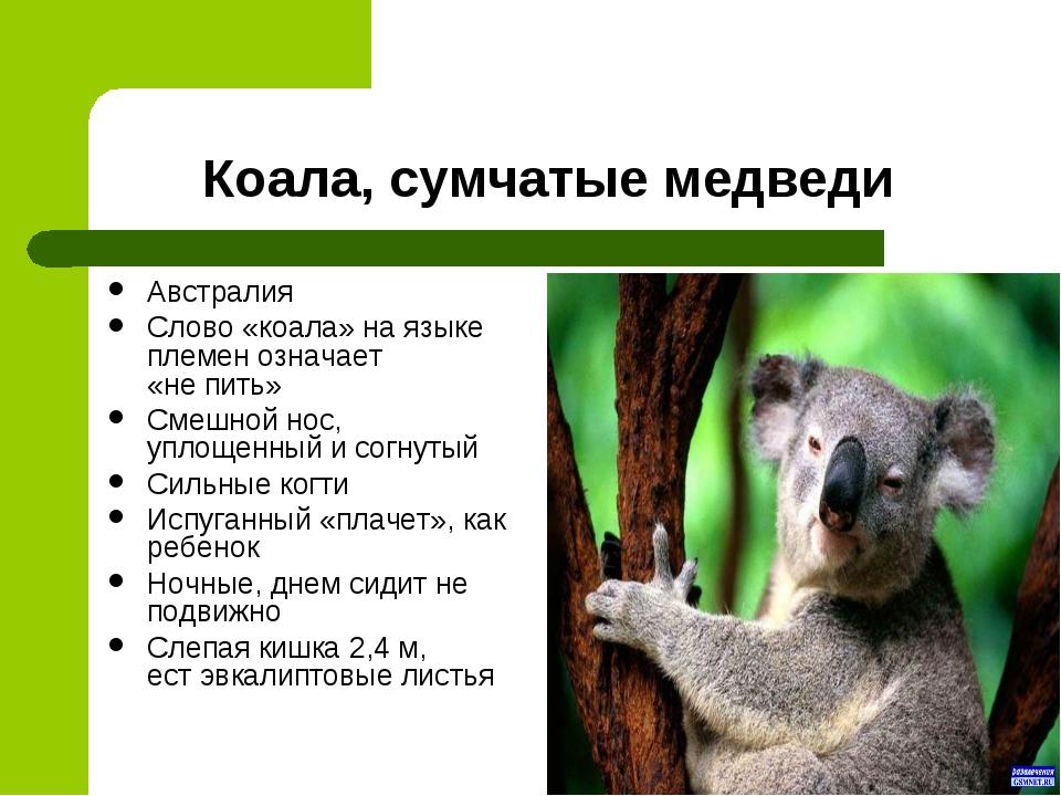 Коала, сумчатые медведи Австралия Слово «коала» на языке племен означает «не...