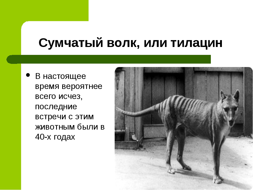 Сумчатый волк, или тилацин В настоящее время вероятнее всего исчез, последние...