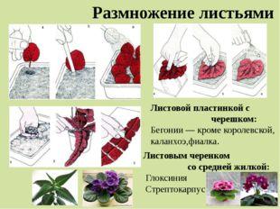 Размножение листьями Листовой пластинкой с черешком: Бегонии — кроме королевс
