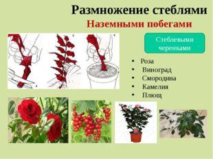 Размножение стеблями Наземными побегами Стеблевыми черенками Роза Виноград См