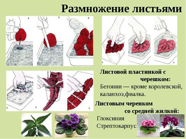 Размножение листьями Листовой пластинкой с черешком: Бегонии — кроме королевс...