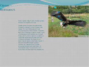 Сокол-балобан. Балобан — вид хищных птиц семейства соколиных. Редкий гнездящи