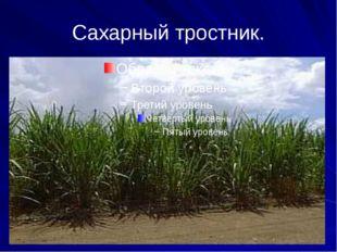 Сахарный тростник.