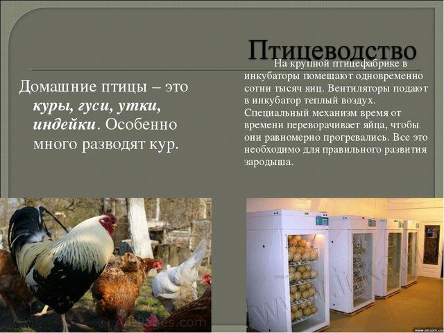 Домашние птицы – это куры, гуси, утки, индейки. Особенно много разводят кур...