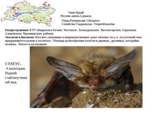 Ушан бурый Plecotus auritus Linnaeus Отряд Рукокрылые-Chiroptera Семейство Гл