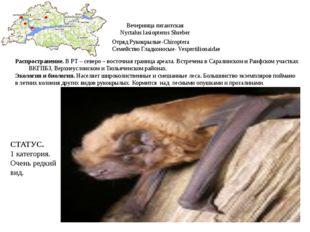 Вечерница гигантская Nyctalus lasiopterus Shreber Отряд Рукокрылые-Chiroptera