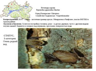 Нетопырь-карлик Pipistrellus pipistrellus Shreber Отряд Рукокрылые-Chiroptera