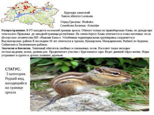 Бурундук азиатский Tamias sibiricus Laxmann Отряд Грызуны -Rodentia Семейство