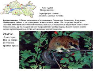 Соня садовая Eliomys quercinus Отряд Грызуны -Rodentia Семейство Соневые -Myo
