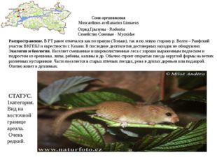 Соня орешниковая Muscardinus avellanarius Linnaeus Отряд Грызуны - Rodentia С