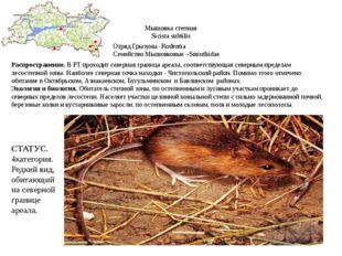 Мышовка степная Sicista subtilis Отряд Грызуны -Rodentia Семейство Мышовковые