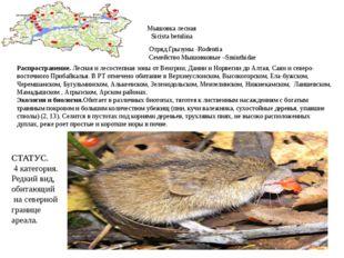 Мышовка лесная Sicista betulina Отряд Грызуны -Rodentia Семейство Мышовковые