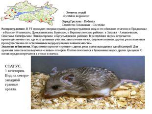 Хомячок серый Cricetulus migratorius Отряд Грызуны - Rodentia Семейство Хомяк