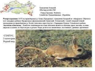 Тушканчик большой Allactaga jaculus Pall Отряд Грызуны -Rodentia Семейство Ту
