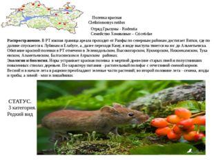 Полевка красная Clethrionomys rutilus Отряд Грызуны - Rodentia Семейство Хомя