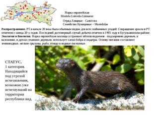 Норка европейская Mustela Lutreola Linnaeus Отряд Хищные - Camivora Семейство