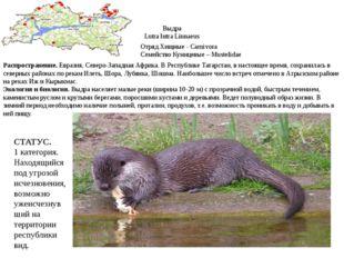 Выдра Lutra lutra Linnaeus Отряд Хищные - Carnivora Семейство Куницевые – Mus
