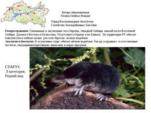 Кутора обыкновенная Neomys fodiens Pennant Отряд Насекомоядные-Insectivora Се