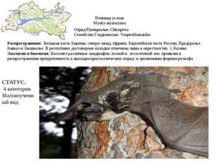 Ночница усатая Myotis mystacinus Отряд Рукокрылые-Chiroptera Семейство Гладко