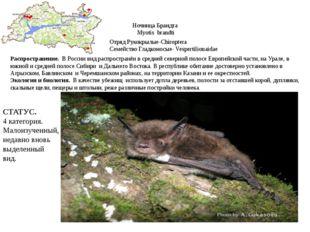 Ночница Брандта Myotis brandti Отряд Рукокрылые-Chiroptera Семейство Гладконо