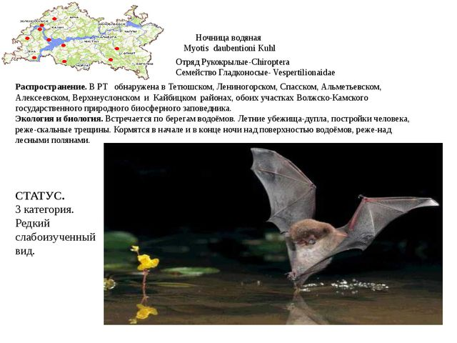 Ночница водяная Myotis daubentioni Kuhl Отряд Рукокрылые-Chiroptera Семейство...