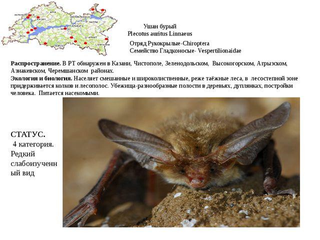 Ушан бурый Plecotus auritus Linnaeus Отряд Рукокрылые-Chiroptera Семейство Гл...