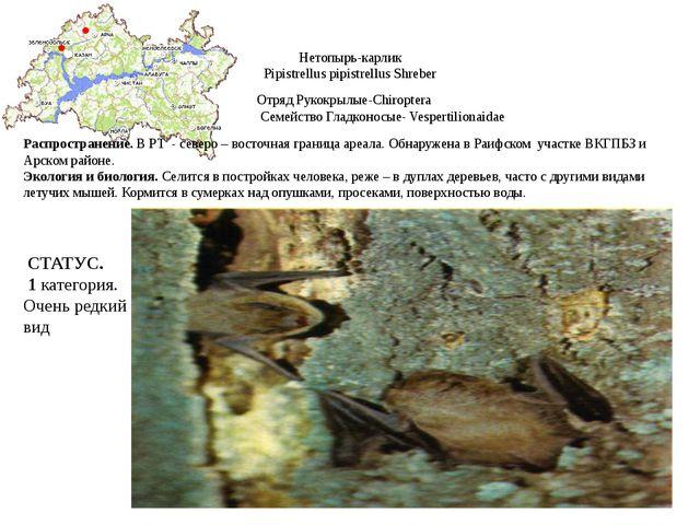 Нетопырь-карлик Pipistrellus pipistrellus Shreber Отряд Рукокрылые-Chiroptera...