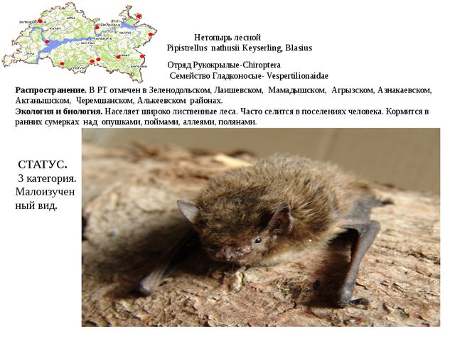 Нетопырь лесной Pipistrellus nathusii Keyserling, Blasius Отряд Рукокрылые-Ch...