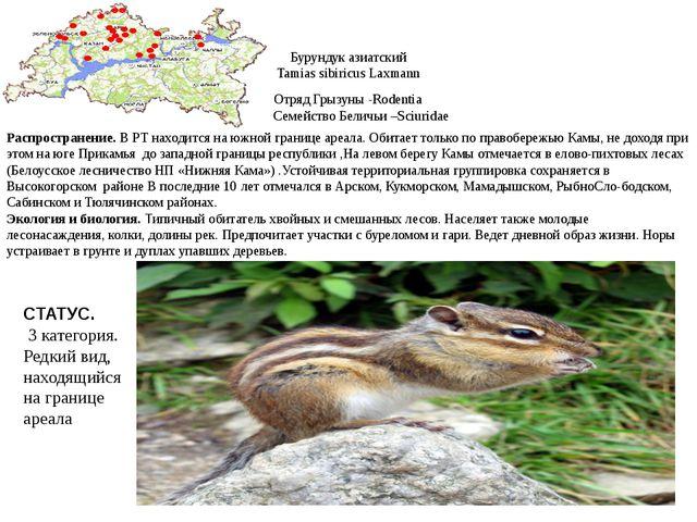 Бурундук азиатский Tamias sibiricus Laxmann Отряд Грызуны -Rodentia Семейство...