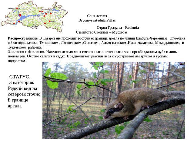 Соня лесная Dryomys nitedula Pallas Отряд Грызуны - Rodentia Семейство Соневы...