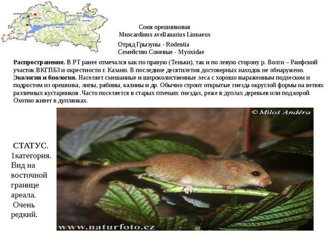 Соня орешниковая Muscardinus avellanarius Linnaeus Отряд Грызуны - Rodentia С...