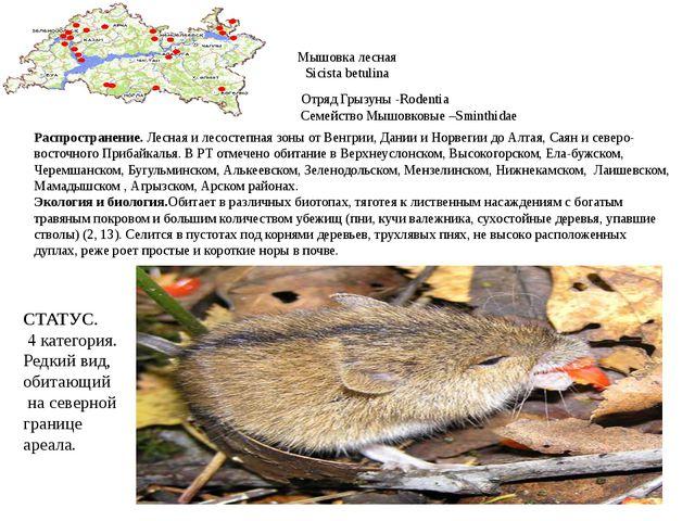 Мышовка лесная Sicista betulina Отряд Грызуны -Rodentia Семейство Мышовковые...