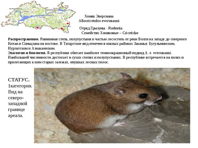 Хомяк Эверсмана Allocricetulus eversmanni Отряд Грызуны - Rodentia Семейство...