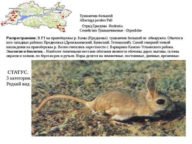Тушканчик большой Allactaga jaculus Pall Отряд Грызуны -Rodentia Семейство Ту...