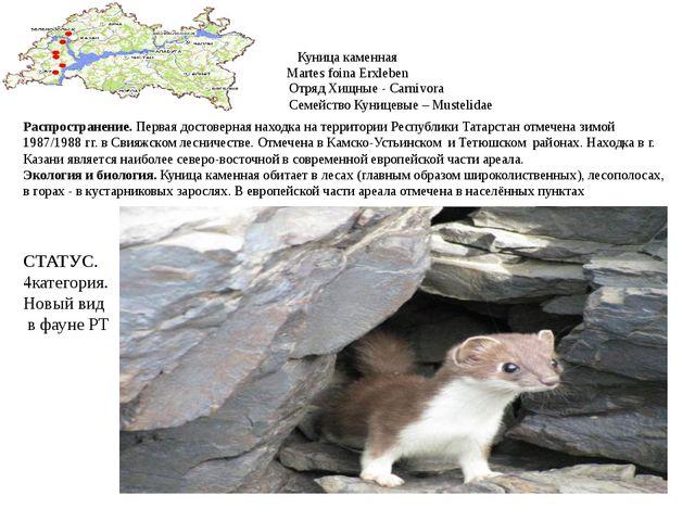 Куница каменная Martes foina Erxleben Отряд Хищные - Carnivora Семейство Куни...