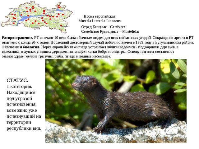 Норка европейская Mustela Lutreola Linnaeus Отряд Хищные - Camivora Семейство...